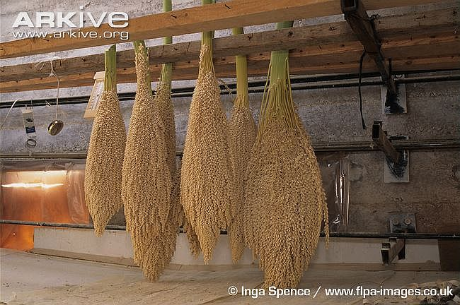 Crop-of-male-date-palm-flowers-in-drying-chambre.jpg