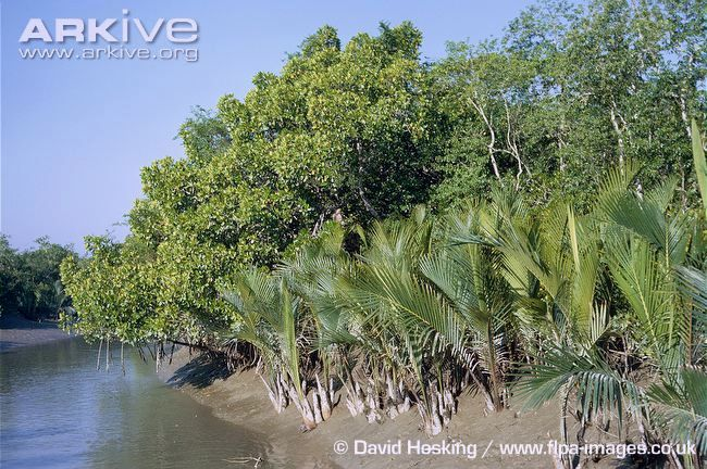Nypa-palm-growing-at-waters-edge.jpg