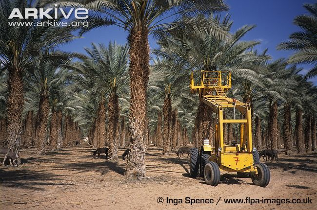 Lift-used-for-manual-pollination-of-date-palms-in-plantation.jpg