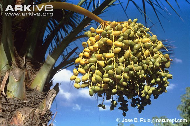 Fruits-developing-on-date-palm.jpg