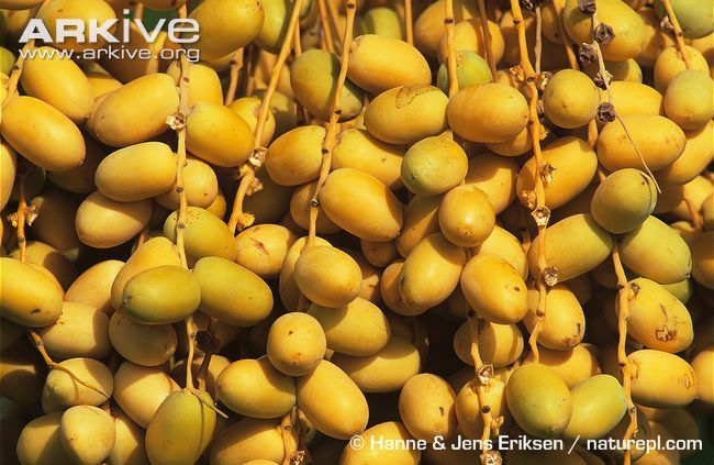 Close-up-of-date-palm-fruits.jpg