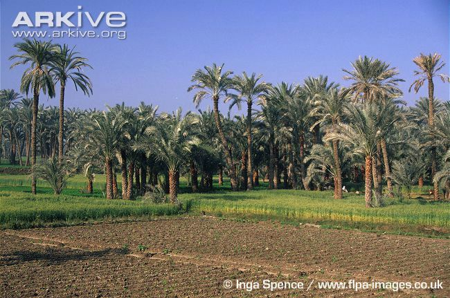 Date-palm-plantation-undersown-with-cereal-crops.jpg