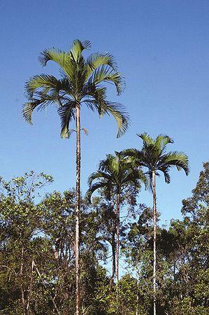 Hydriastele Longispatha Palmpedia Palm Grower S Guide