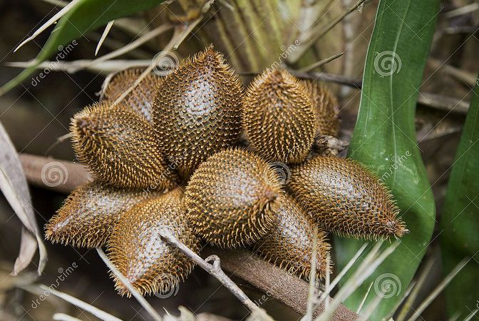 Salacca-wallichiana-zalacca-tropical-fruit-beginning-42092280.jpg