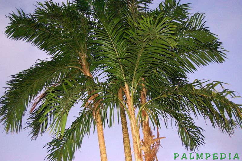 File:MadPalms25.jpg