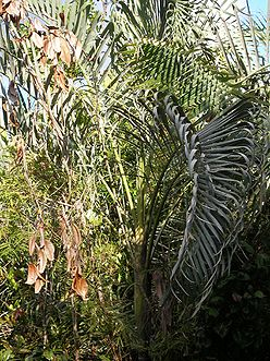 P1010107 Dypsis lutescens glauscens,.JPG