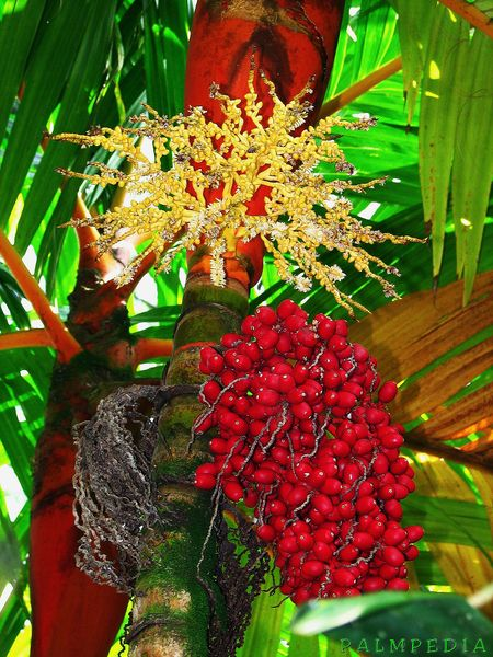 File:Areca vestiaria fuit and flower.jpg