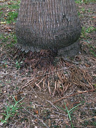 Dictyosperma album big foot with roots.JPG