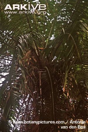 Cliff-date-palm-fronds.jpg
