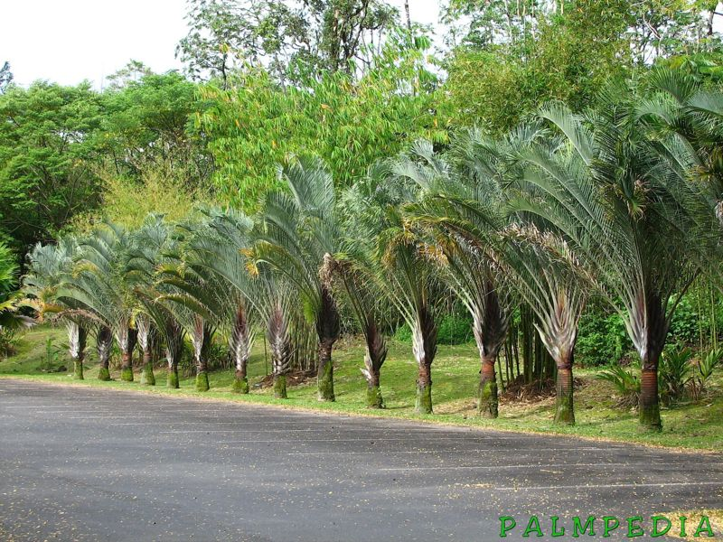 File:Dypsis decaryis zoo parking.jpg