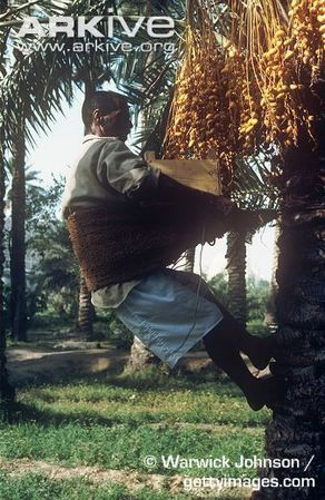 Traditional-harvesting-of-date-palm-fruits.jpg