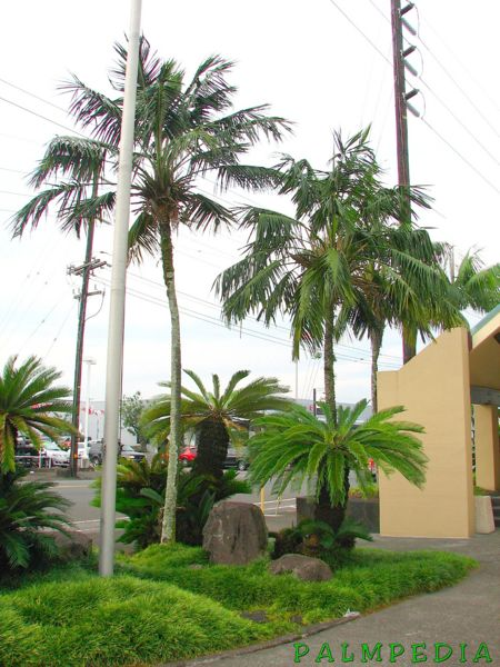 File:Howeas in Hilo.jpg
