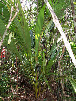P1010250 Dypsis sp.,new as before.JPG