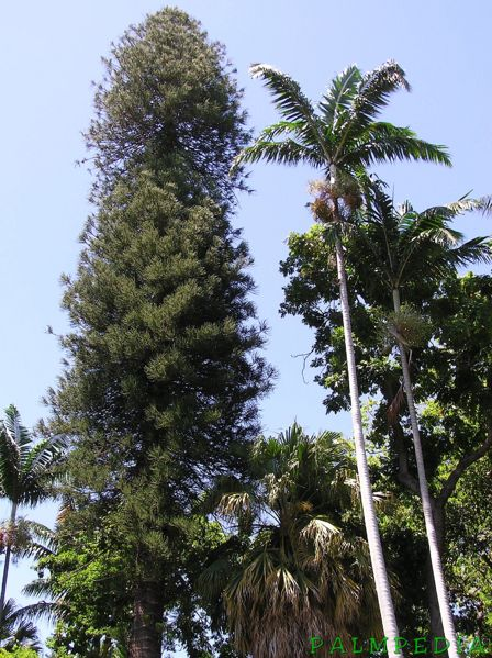 File:Araucaria columnaris and Veitchia arecina.JPG
