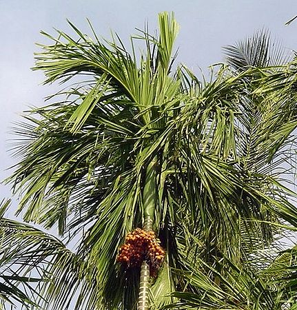 Beetle palm with nut bunchz.jpg