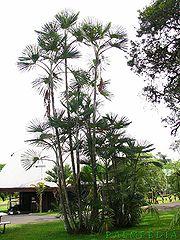 أنواع أشجار نخيل الزينة  180px-Mauritiella_sillohuette