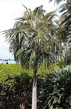 Coccothrinax argentata craft.jpg