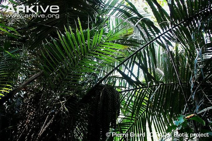 Wights-sago-palm-leaves-and-fruits.jpg