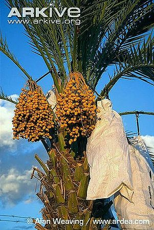 Bags-over-date-palm-fruit-to-promote-higher-a-yield.jpg