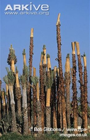 Dale-palms-with-leaves-tied-up-for-offshoot-propagation.jpg